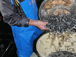 堅田漁港で水揚げされるヒウオ
