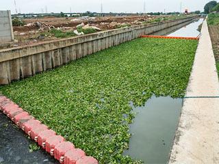ジャカルタの川で行われたホテイアオイによる水質浄化試験