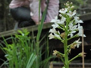 滋賀県が新たに設定する保護区域内で採捕禁止になるミツガシワ