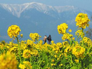 例年より約2週間早く見頃を迎えた守山第一なぎさ公園の菜の花