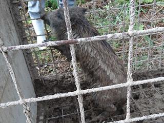 沖島で捕獲されたイノシシ