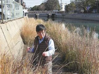 愛知県碧南市の堀川河口付近で確認されたスパルティナ・アングリカ