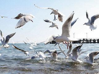 餌を撒いて寄せたユリカモメの群れ