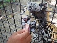 P2019128、ジャガーへの餌やり2