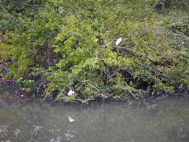 18.10.15 三橋運動公園。池の水抜きます  (39)