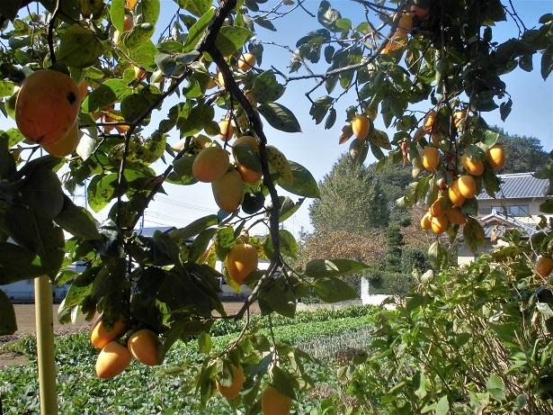 18.1022 今日の柿の木  (34)