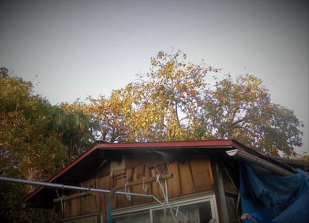 18.1022 今日の柿の木  (79)