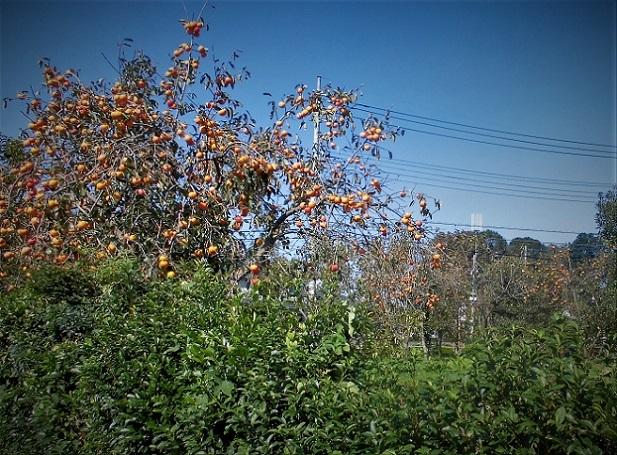 18.1022 今日の柿の木  (23)