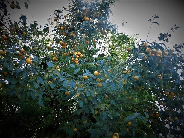 18.1022 今日の柿の木  (69)