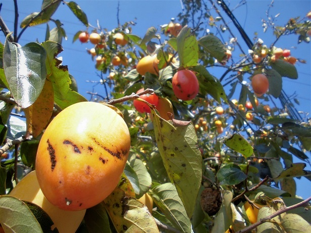 18.1022 今日の柿の木  (30)