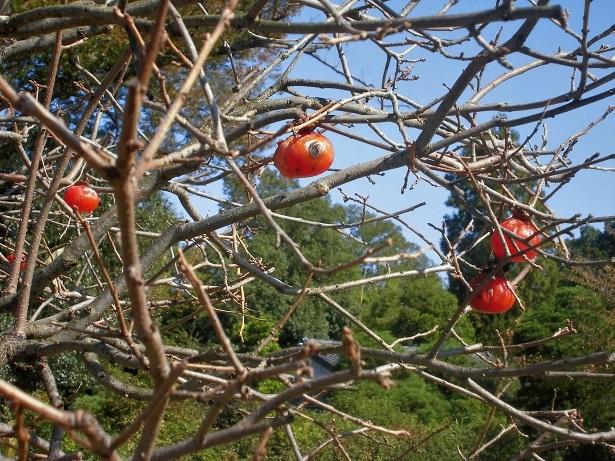 18.1022 今日の柿の木  (42)