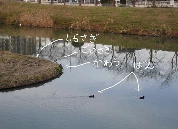 18.11.16 鴨川の鳥とカエル (42)_LI