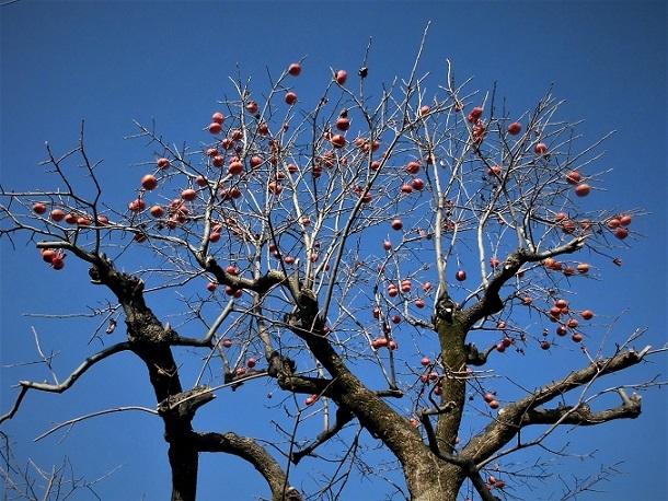 18.12.20 柿の木とザクロ (2)