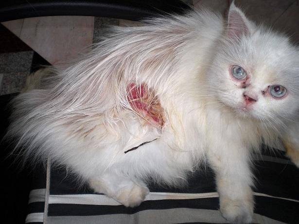 44 08.11.8噛まれた猫の傷