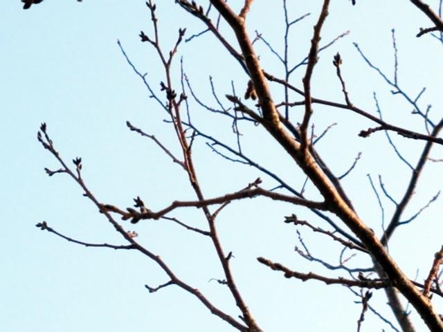 桜もうすぐ1-2