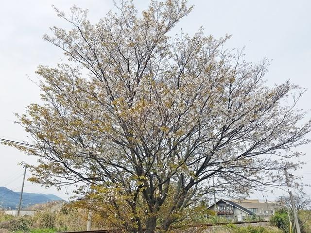 指宿の桜1-1