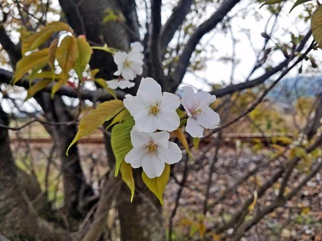 指宿の桜1-2