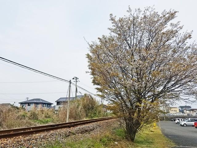 指宿の桜1-3