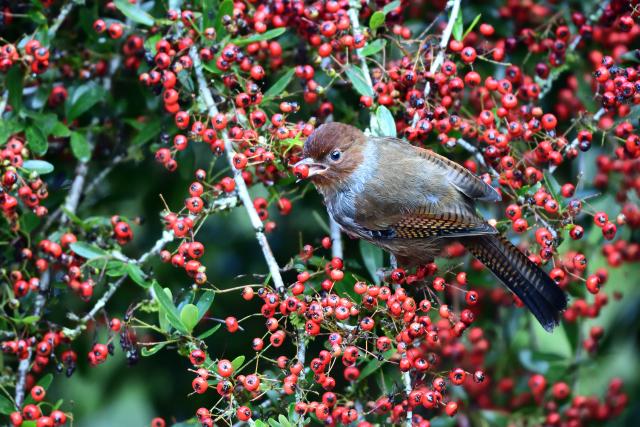 藪鳥とシマドリ(5)