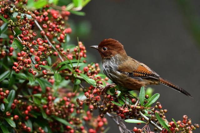 藪鳥とシマドリ(4)