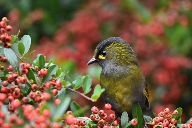 藪鳥とシマドリ(3)