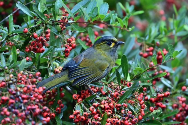 藪鳥とシマドリ(2)