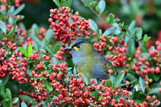 藪鳥とシマドリ(1)