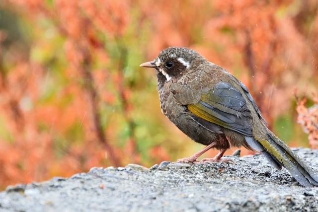 合歡山野鳥(2)
