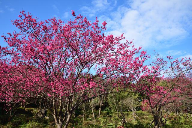 排寒桜(4)