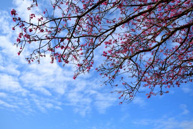緋寒桜(2)