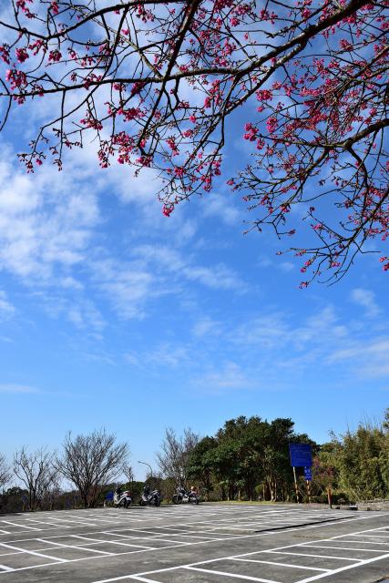 緋寒桜(3)