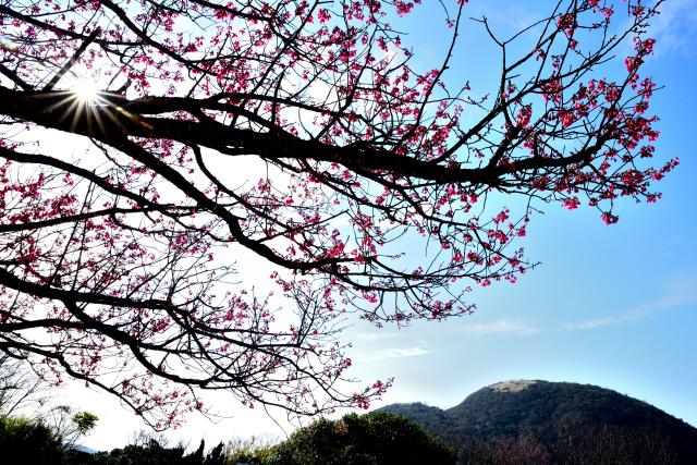 緋寒桜(1)