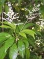 Euodia hortensis