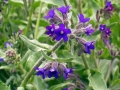 Anchusa_officinalis.jpg
