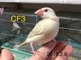 CF3 42日目