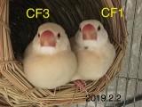 CF1 CF3