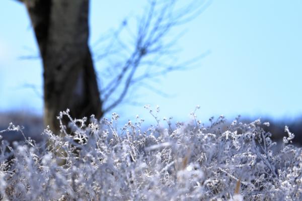 針のような霜