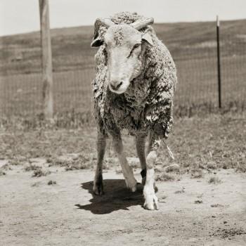 goat (Custom)