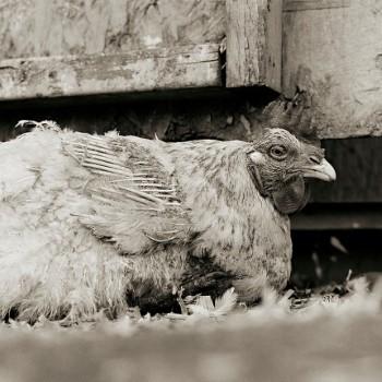 hen (Custom)