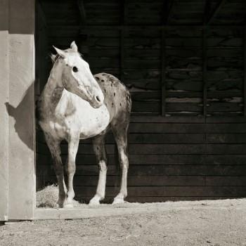 horse (Custom)