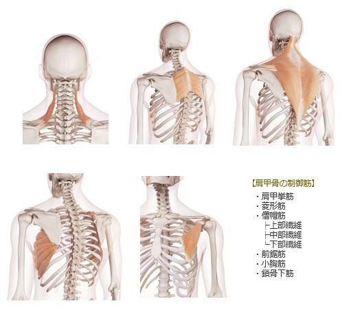 肩甲骨の安定化