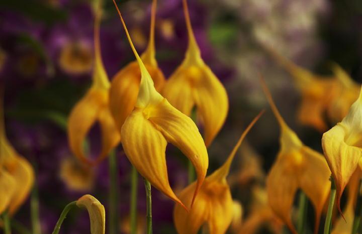 黄色変わり蘭-236