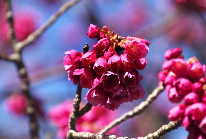 寒緋桜-327