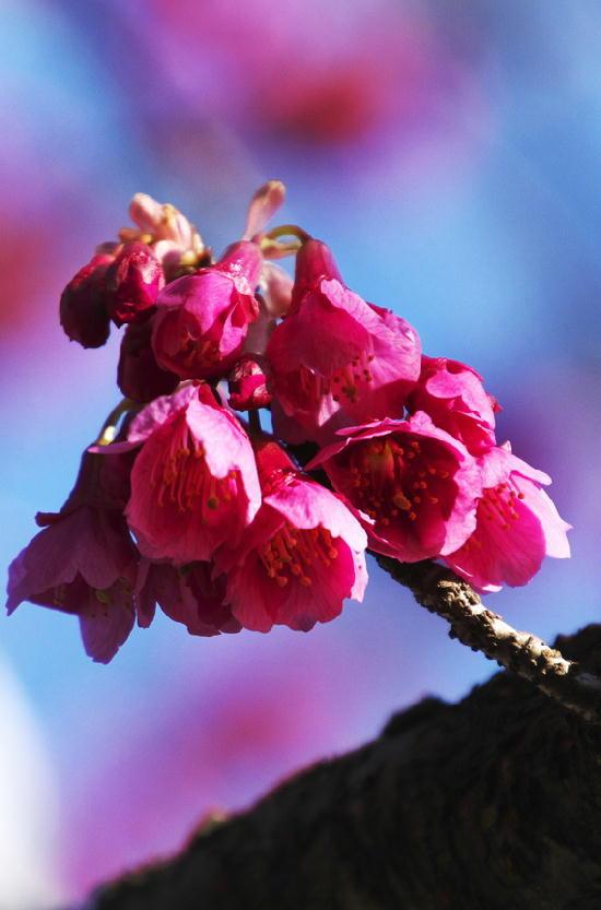 寒緋桜-329