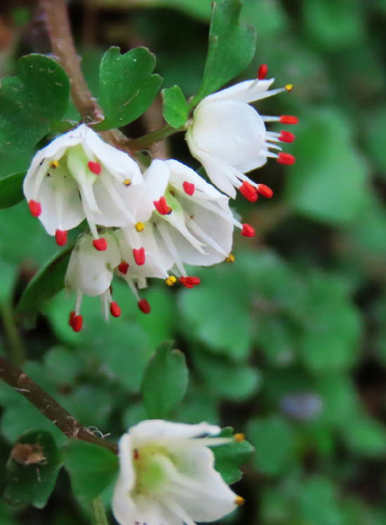 花ネコノメ草-078