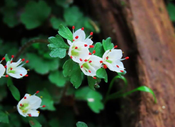 花ネコノメ草-079