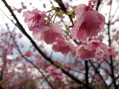 190206-12=カンヒザクラの花 aONA温泉駐車場