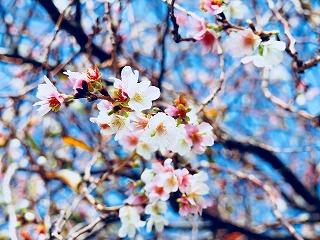 s-咲二季咲桜、コシノフクカサネ・10月下旬~12月上旬咲・一重咲から半八重