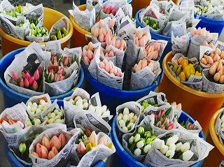 s-チューリップ朝日町の切り花