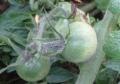 017ミニトマト
